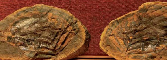 Fossiel elzenblad gevonden in Kwintelooijen. Foto: Paula Goudzwaard