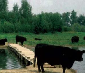 Om te voorkomen dat het gebied dichtgroeit worden grote grazers ingezet: Galloway-runderen